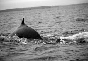 minke whale taken near Cape Clear Island by author Chuck Kruger